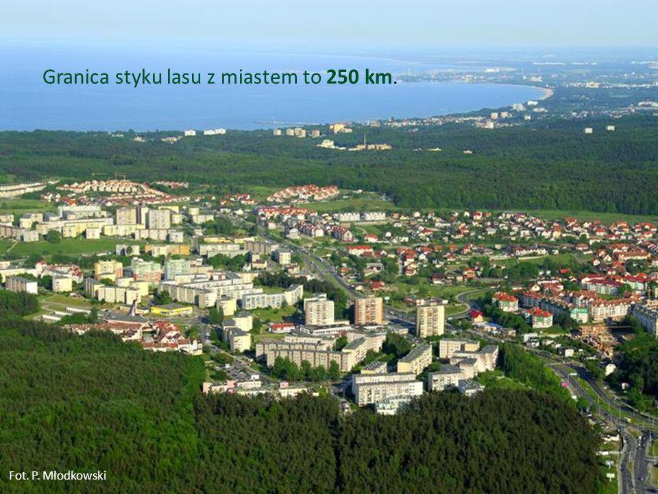 7 Granica styku lasu z miastem to 250 km. Fot. P. Młodkowski