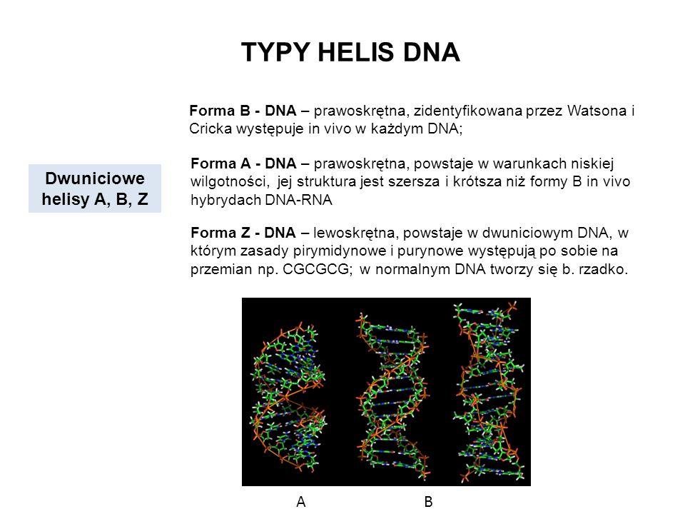 TYPY HELIS DNA Dwuniciowe helisy A, B, Z Forma B - DNA – prawoskrętna, zidentyfikowana przez Watsona i Cricka występuje in vivo w każdym DNA; Forma A