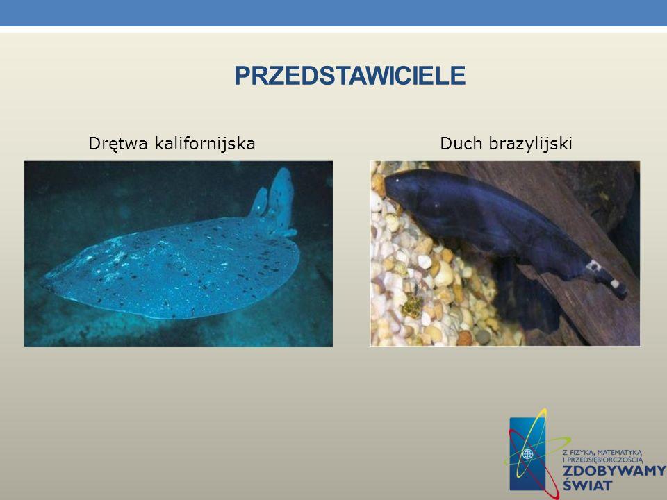 WĘGORZ ELEKTRYCZNY I INNE ORGANIZMY WYTWARZAJĄCE PRĄD LUB IMPULSY ELEKTRYCZNE. Narządy elektryczne – parzyste narządy występujące u niektórych ryb umo