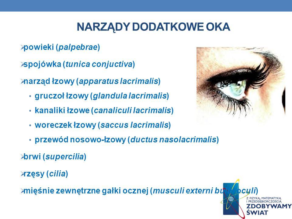 NARZĄDY DODATKOWE OKA powieki (palpebrae) spojówka (tunica conjuctiva) narząd łzowy (apparatus lacrimalis) gruczoł łzowy (glandula lacrimalis) kanalik