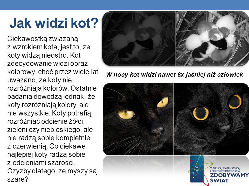 Jak widzi kot? W nocy kot widzi nawet 6x jaśniej niż człowiek Ciekawostką związaną z wzrokiem kota, jest to, że koty widzą nieostro. Kot zdecydowanie
