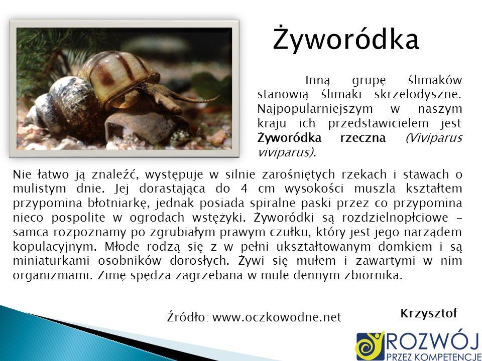 Inną grupę ślimaków stanowią ślimaki skrzelodyszne. Najpopularniejszym w naszym kraju ich przedstawicielem jest Żyworódka rzeczna (Viviparus viviparus