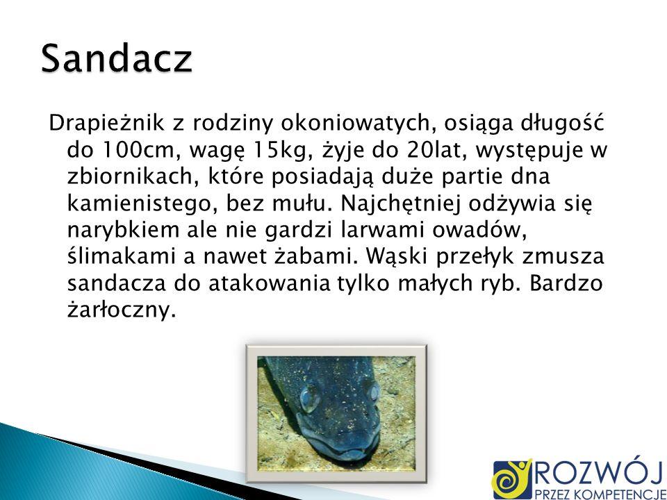 Drapieżnik z rodziny okoniowatych, osiąga długość do 100cm, wagę 15kg, żyje do 20lat, występuje w zbiornikach, które posiadają duże partie dna kamieni