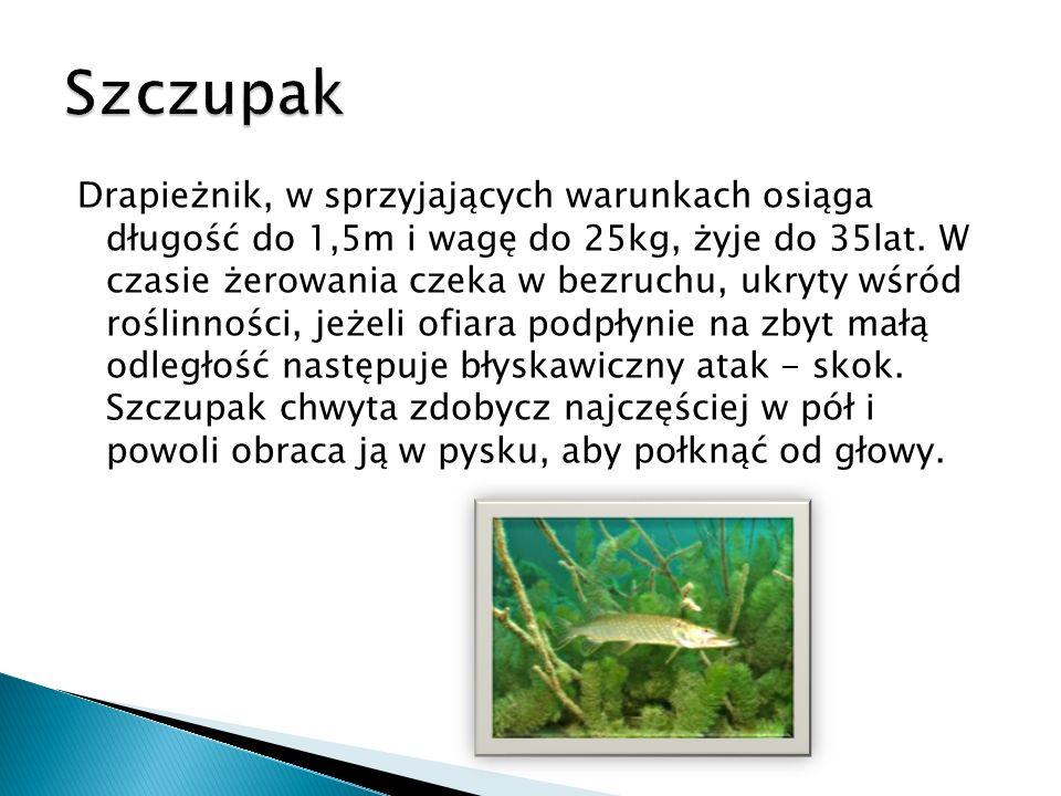 Drapieżnik, w sprzyjających warunkach osiąga długość do 1,5m i wagę do 25kg, żyje do 35lat. W czasie żerowania czeka w bezruchu, ukryty wśród roślinno