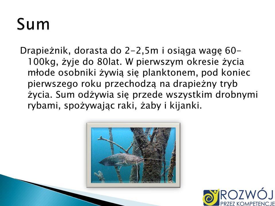 Drapieżnik, dorasta do 2-2,5m i osiąga wagę 60- 100kg, żyje do 80lat. W pierwszym okresie życia młode osobniki żywią się planktonem, pod koniec pierws