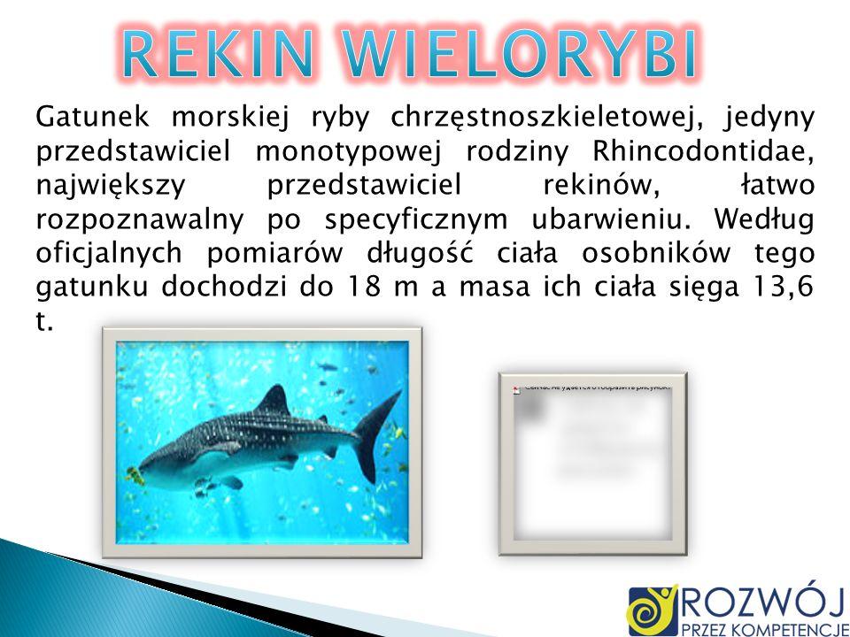 Gatunek morskiej ryby chrzęstnoszkieletowej, jedyny przedstawiciel monotypowej rodziny Rhincodontidae, największy przedstawiciel rekinów, łatwo rozpoz