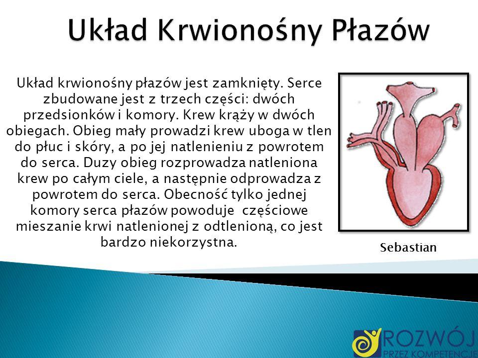 Układ krwionośny płazów jest zamknięty. Serce zbudowane jest z trzech części: dwóch przedsionków i komory. Krew krąży w dwóch obiegach. Obieg mały pro