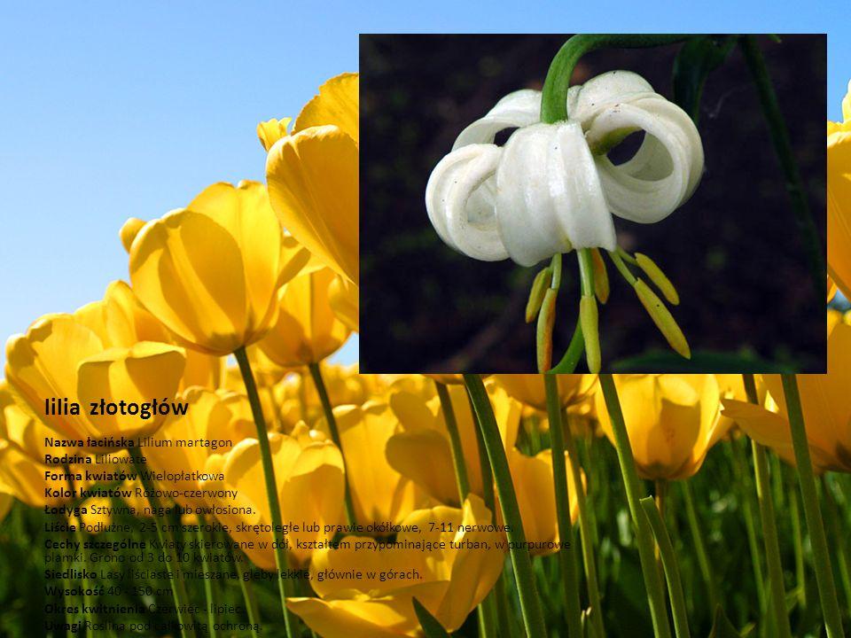 lilia złotogłów Nazwa łacińska Lilium martagon Rodzina Liliowate Forma kwiatów Wielopłatkowa Kolor kwiatów Różowo-czerwony Łodyga Sztywna, naga lub ow