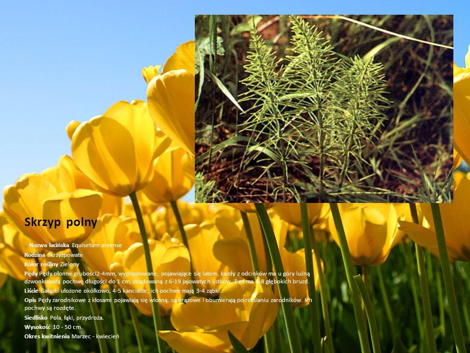 Skrzyp polny.. Nazwa łacińska Equisetum arvense Rodzina Skrzyzpowate Kolor rośliny Zielony Pędy Pędy płonne grubości2-4mm, wyprostowane, pojawiające s