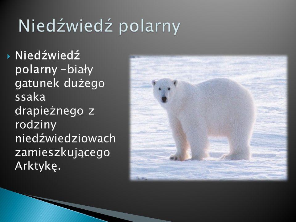Niedźwiedź polarny -biały gatunek dużego ssaka drapieżnego z rodziny niedźwiedziowach zamieszkującego Arktykę.