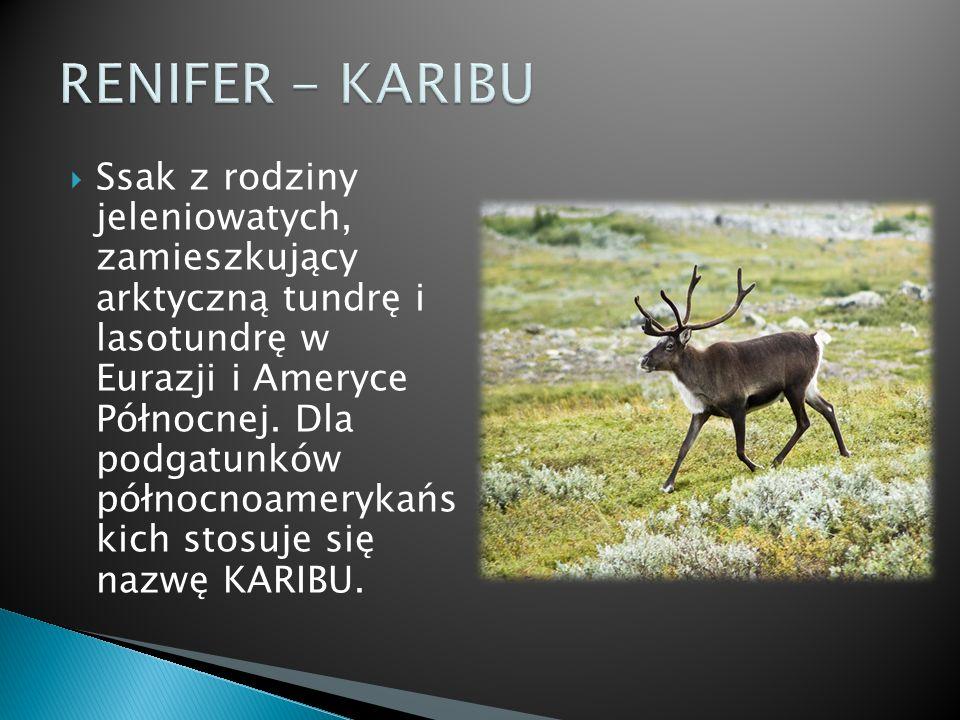 Ssak z rodziny jeleniowatych, zamieszkujący arktyczną tundrę i lasotundrę w Eurazji i Ameryce Północnej. Dla podgatunków północnoamerykańs kich stosuj