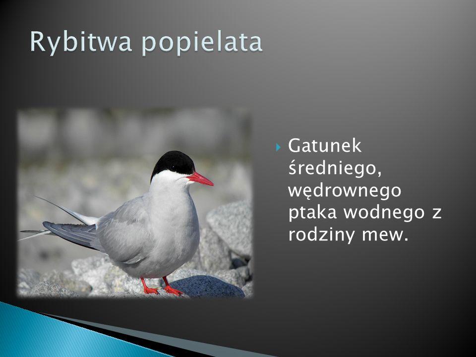 Gatunek średniego, wędrownego ptaka wodnego z rodziny mew.