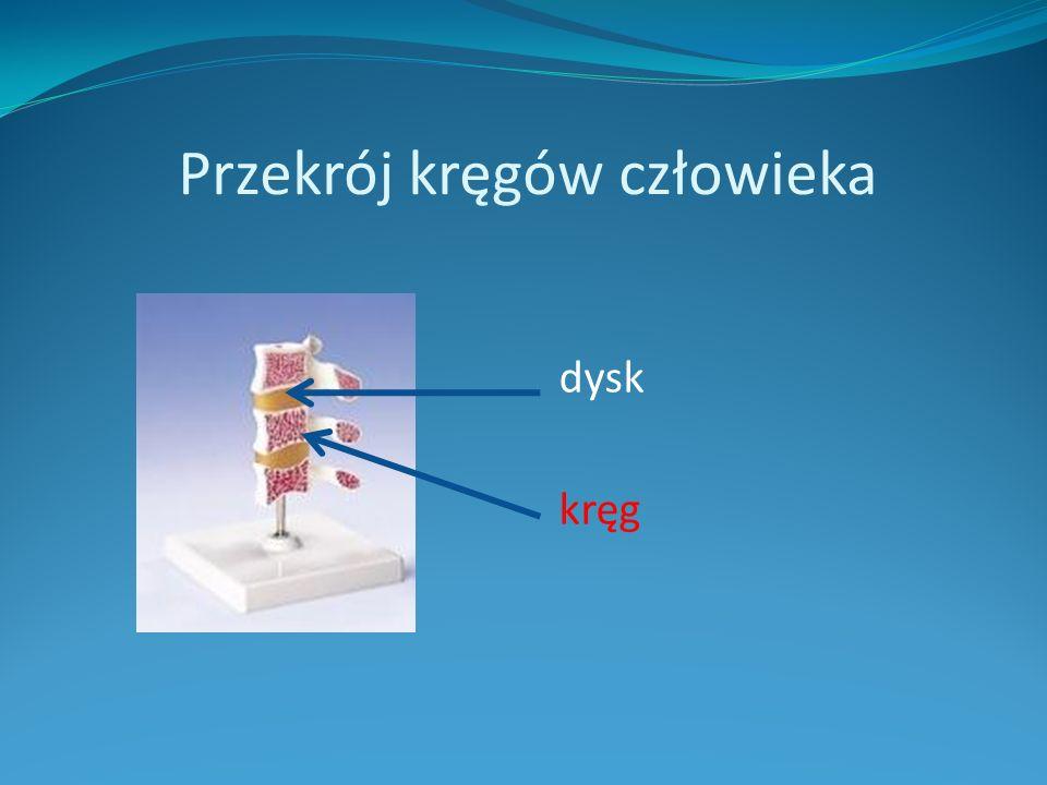 Przekrój kręgów człowieka dysk kręg