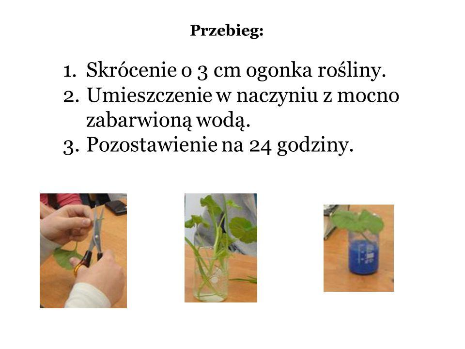 Przebieg: 1.Skrócenie o 3 cm ogonka rośliny. 2.Umieszczenie w naczyniu z mocno zabarwioną wodą. 3.Pozostawienie na 24 godziny.