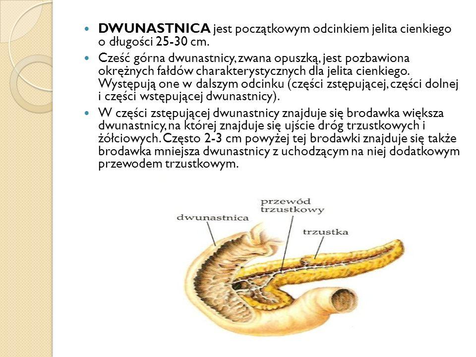 DWUNASTNICA jest początkowym odcinkiem jelita cienkiego o długości 25-30 cm. Cześć górna dwunastnicy, zwana opuszką, jest pozbawiona okrężnych fałdów