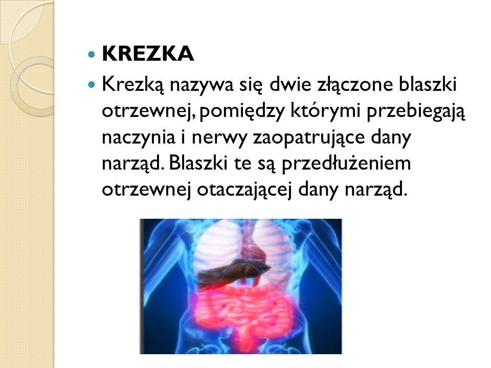 KREZKA Krezką nazywa się dwie złączone blaszki otrzewnej, pomiędzy którymi przebiegają naczynia i nerwy zaopatrujące dany narząd. Blaszki te są przedł