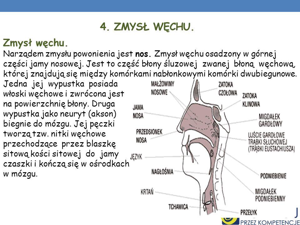 4. ZMYSŁ WĘCHU. Zmysł węchu. Narządem zmysłu powonienia jest nos. Zmysł węchu osadzony w górnej części jamy nosowej. Jest to część błony śluzowej zwan