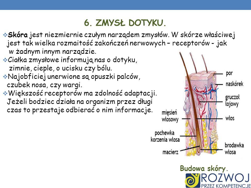 6. ZMYSŁ DOTYKU. Skóra jest niezmiernie czułym narządem zmysłów. W skórze właściwej jest tak wielka rozmaitość zakończeń nerwowych – receptorów - jak