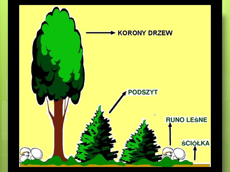 Świat roślin lasów równikowych W lasach równikowych rosną drzewa, takie jak: bananowce, palmy, kakaowce, paprocie drzewiaste, mahoniowce, hebanowce.