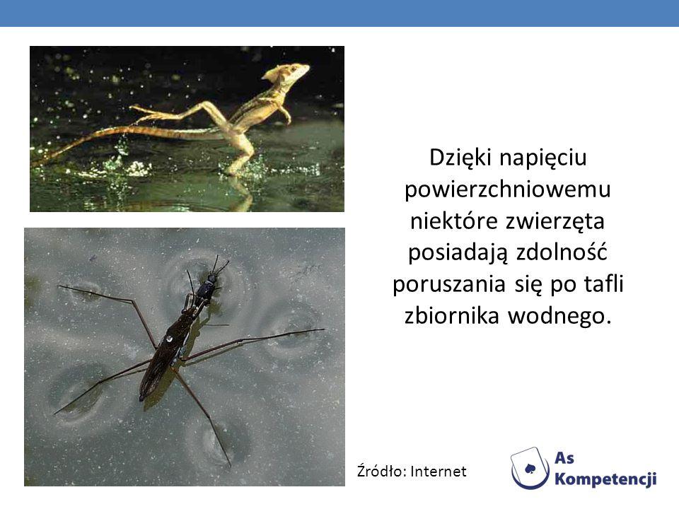 Dzięki napięciu powierzchniowemu niektóre zwierzęta posiadają zdolność poruszania się po tafli zbiornika wodnego. Źródło: Internet