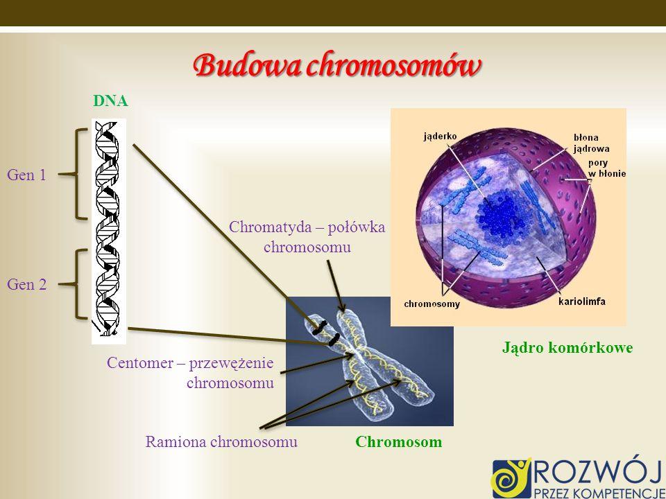 Budowa chromosomów Chromatyda – połówka chromosomu Centomer – przewężenie chromosomu Ramiona chromosomu Jądro komórkowe Chromosom Gen 1 Gen 2 DNA