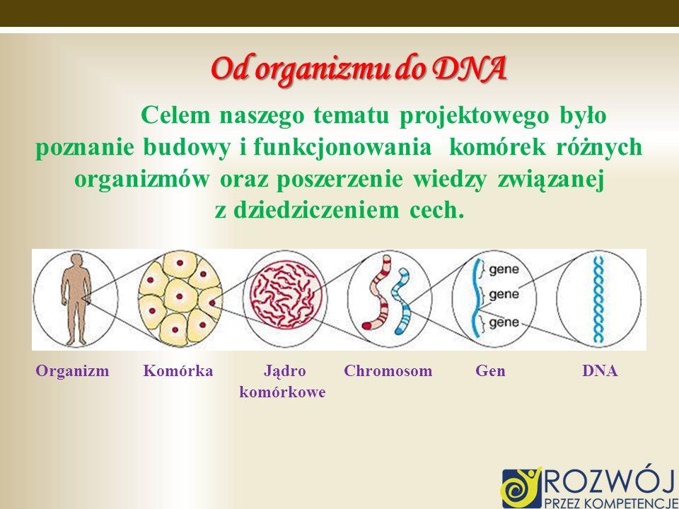 Od organizmu do DNA Celem naszego tematu projektowego było poznanie budowy i funkcjonowania komórek różnych organizmów oraz poszerzenie wiedzy związan
