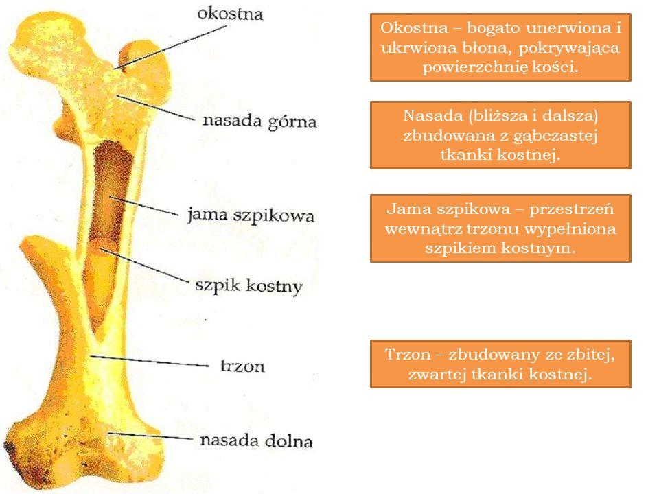 Okostna – bogato unerwiona i ukrwiona błona, pokrywająca powierzchnię kości. Nasada (bliższa i dalsza) zbudowana z gąbczastej tkanki kostnej. Jama szp