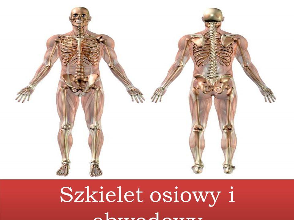 Szkielet osiowy i obwodowy