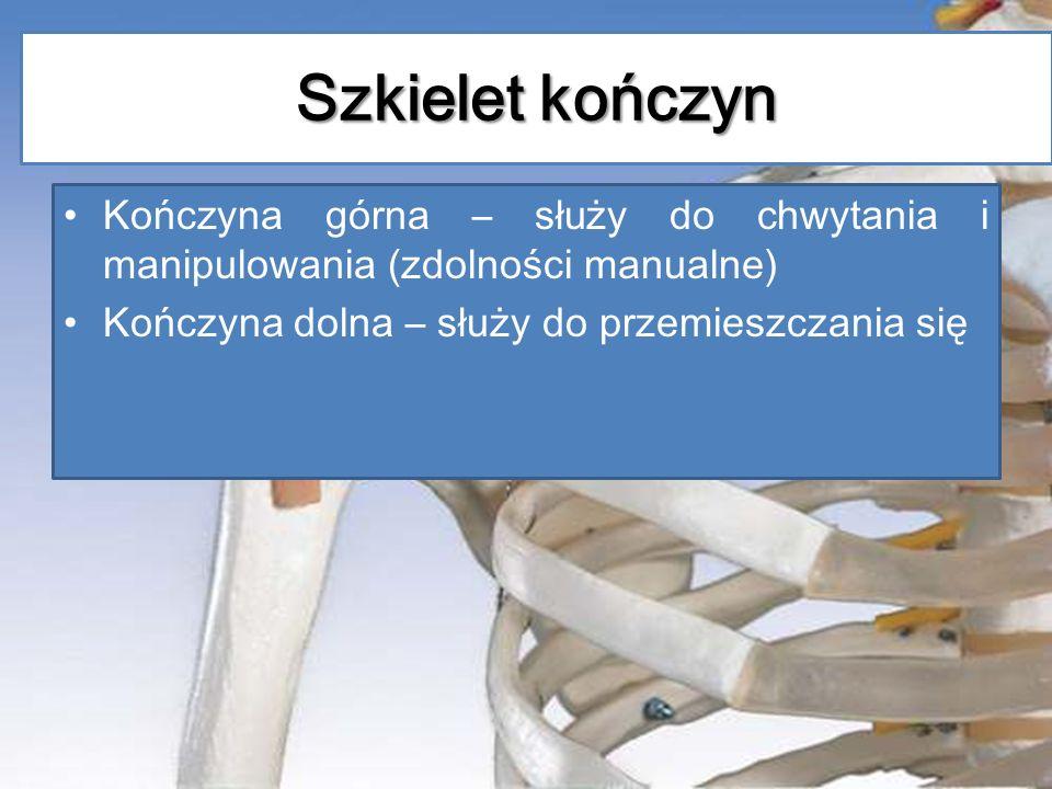 Szkielet kończyn Kończyna górna – służy do chwytania i manipulowania (zdolności manualne) Kończyna dolna – służy do przemieszczania się