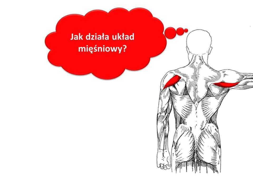 Jak działa układ mięśniowy?