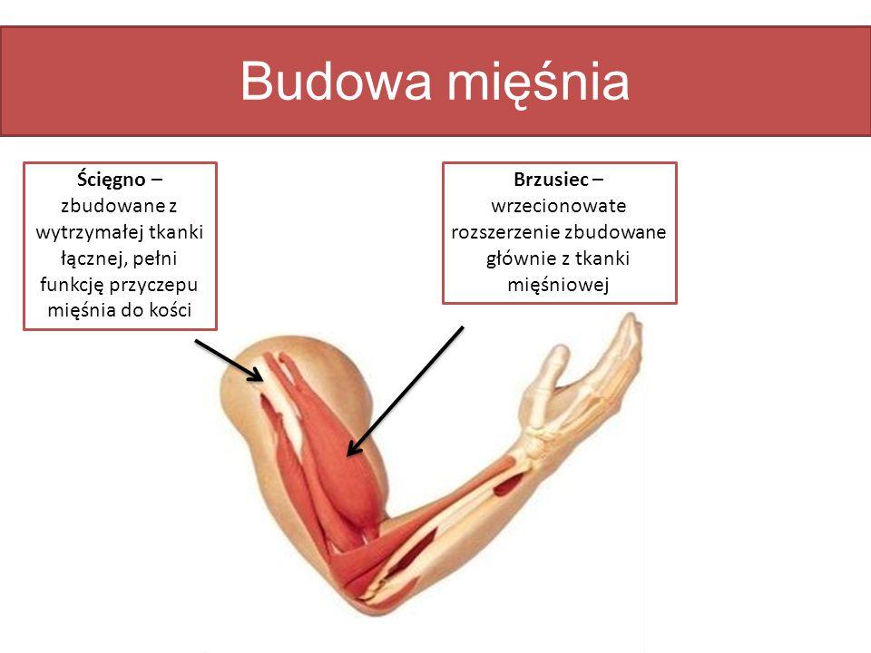 Budowa mięśnia Brzusiec – wrzecionowate rozszerzenie zbudowane głównie z tkanki mięśniowej Ścięgno – zbudowane z wytrzymałej tkanki łącznej, pełni fun