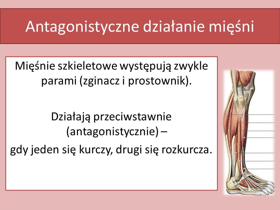 Antagonistyczne działanie mięśni Mięśnie szkieletowe występują zwykle parami (zginacz i prostownik). Działają przeciwstawnie (antagonistycznie) – gdy
