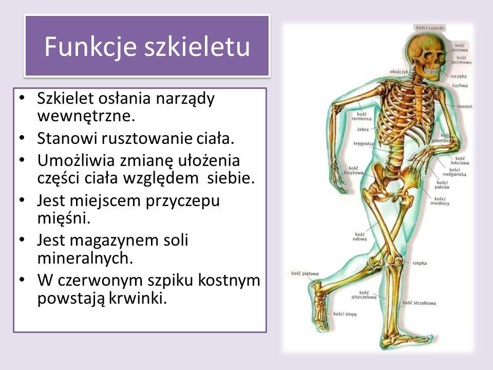 Funkcje szkieletu Szkielet osłania narządy wewnętrzne. Stanowi rusztowanie ciała. Umożliwia zmianę ułożenia części ciała względem siebie. Jest miejsce