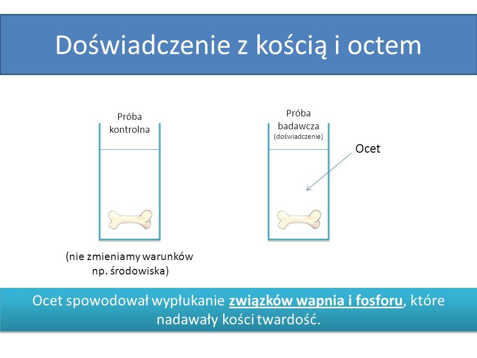 Doświadczenie z kością i octem Próba kontrolna Próba badawcza (doświadczenie) Ocet (nie zmieniamy warunków np. środowiska) Ocet spowodował wypłukanie
