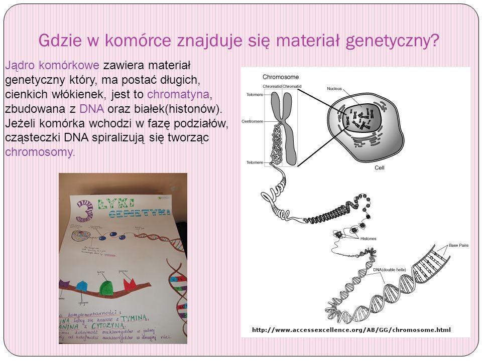 Gdzie w komórce znajduje się materiał genetyczny? Jądro komórkowe zawiera materiał genetyczny który, ma postać długich, cienkich włókienek, jest to ch