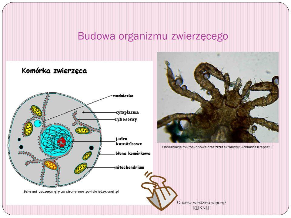 Budowa organizmu zwierzęcego Obserwacje mikroskopowe oraz zrzut ekranowy: Adrianna Krepsztul Chcesz wiedzieć więcej? KLIKNIJ!
