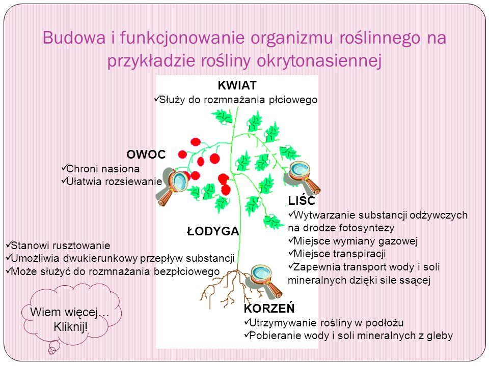 Budowa i funkcjonowanie organizmu roślinnego na przykładzie rośliny okrytonasiennej KORZEŃ Utrzymywanie rośliny w podłożu Pobieranie wody i soli miner