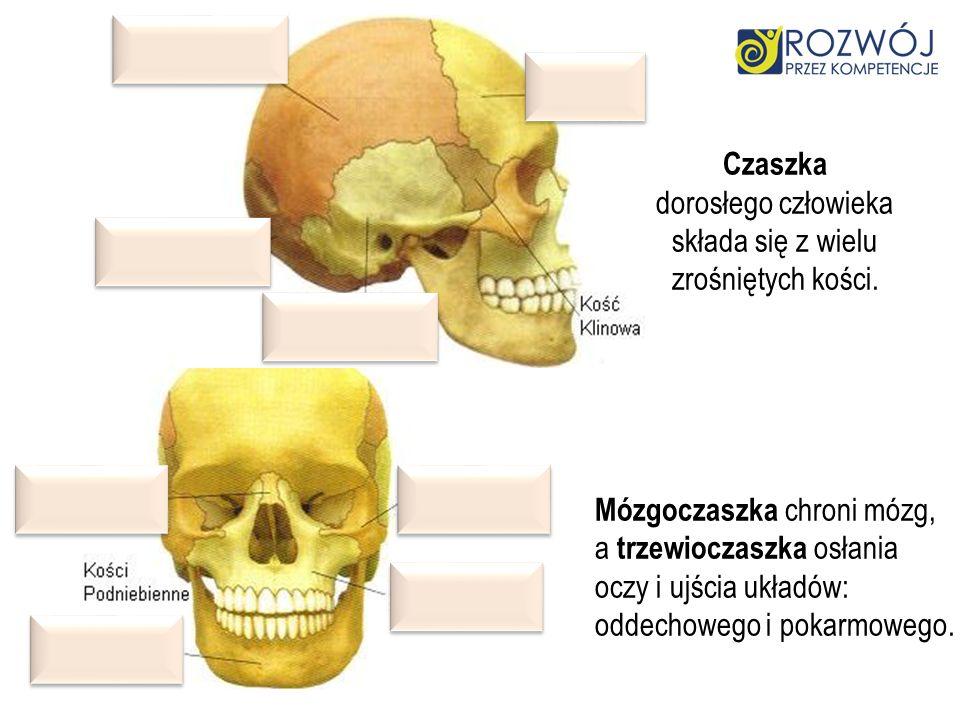 Czaszka dorosłego człowieka składa się z wielu zrośniętych kości. Mózgoczaszka chroni mózg, a trzewioczaszka osłania oczy i ujścia układów: oddechoweg