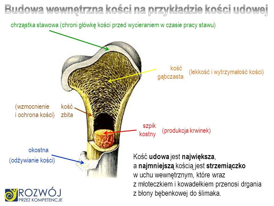 chrząstka stawowa (chroni główkę kości przed wycieraniem w czasie pracy stawu) kość zbita kość gąbczasta okostna szpik kostny (wzmocnienie i ochrona k