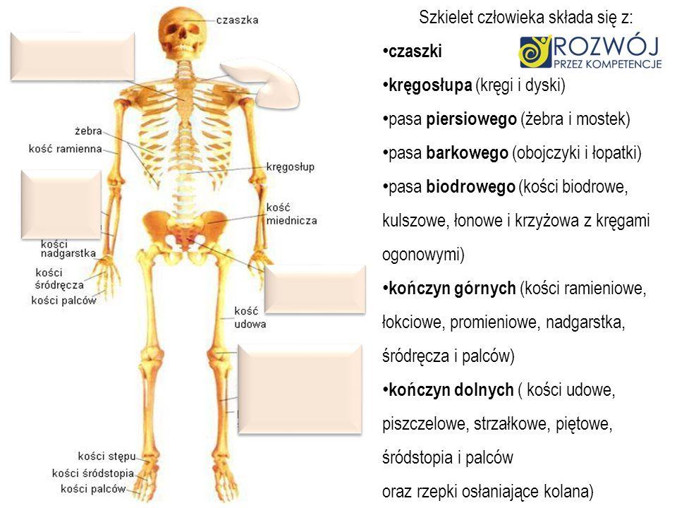 Szkielet człowieka składa się z: czaszki kręgosłupa (kręgi i dyski) pasa piersiowego (żebra i mostek) pasa barkowego (obojczyki i łopatki) pasa biodro