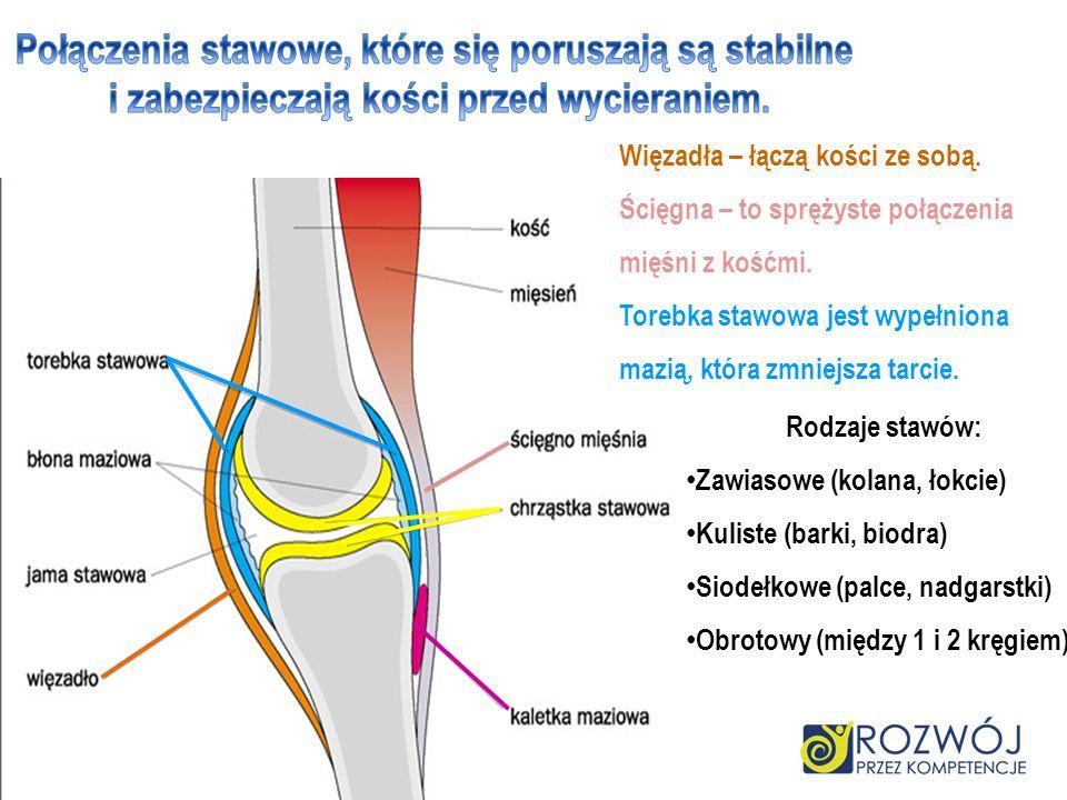 Więzadła – łączą kości ze sobą. Ścięgna – to sprężyste połączenia mięśni z kośćmi. Torebka stawowa jest wypełniona mazią, która zmniejsza tarcie. Rodz