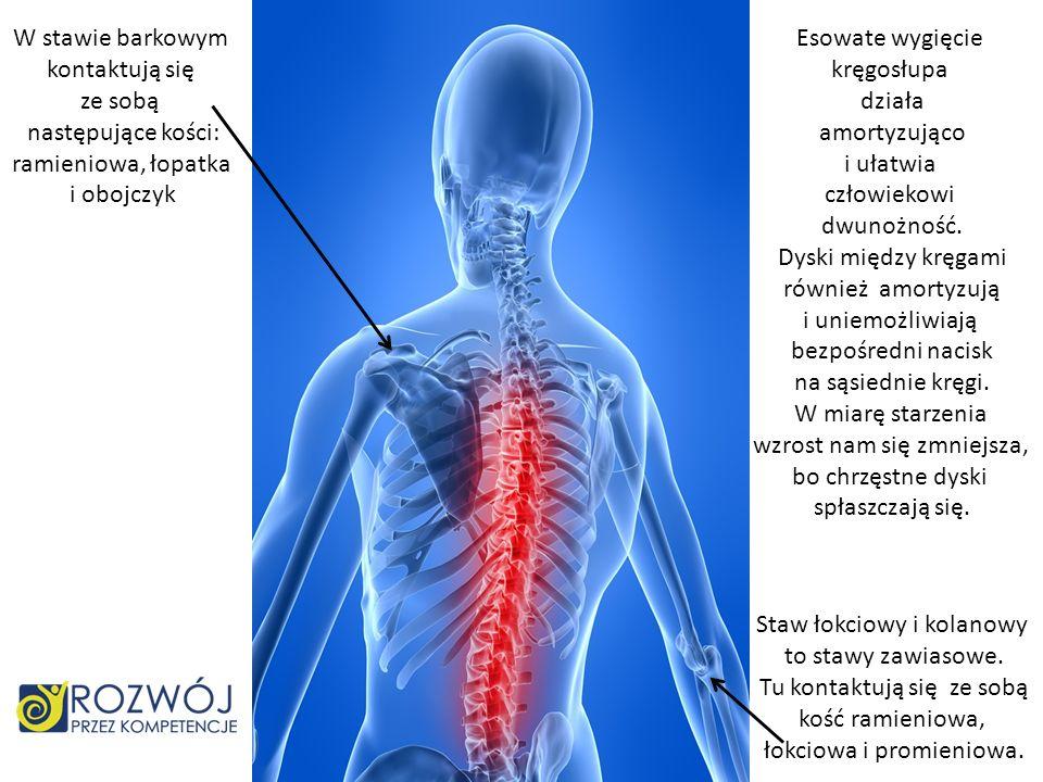 W stawie barkowym kontaktują się ze sobą następujące kości: ramieniowa, łopatka i obojczyk Staw łokciowy i kolanowy to stawy zawiasowe. Tu kontaktują
