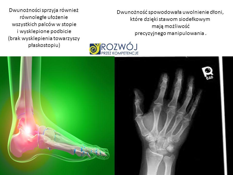 Dwunożności sprzyja również równoległe ułożenie wszystkich palców w stopie i wysklepione podbicie (brak wysklepienia towarzyszy płaskostopiu) Dwunożno