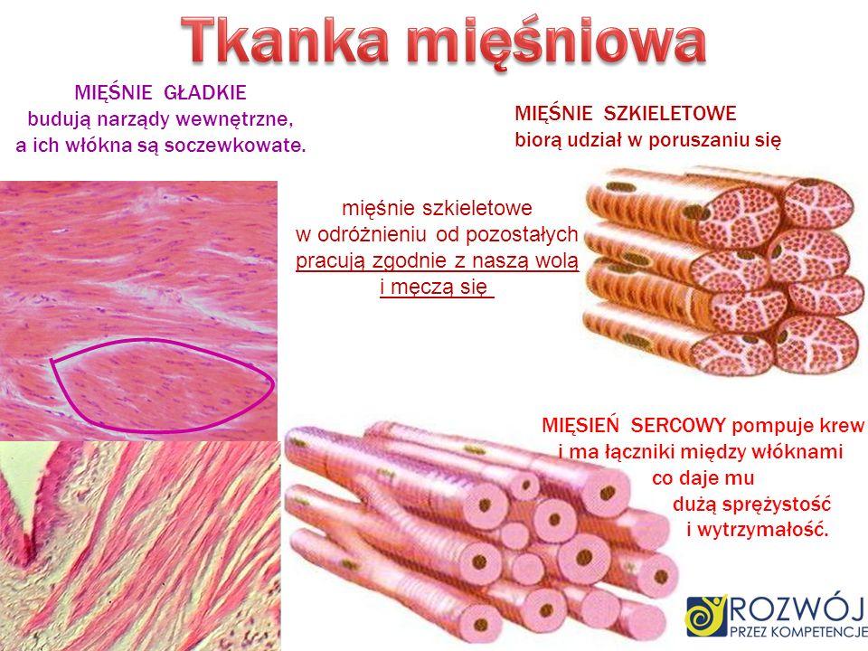 MIĘŚNIE GŁADKIE budują narządy wewnętrzne, a ich włókna są soczewkowate. MIĘŚNIE SZKIELETOWE biorą udział w poruszaniu się MIĘSIEŃ SERCOWY pompuje kre