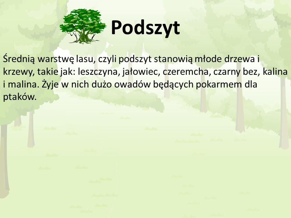 Podszyt Średnią warstwę lasu, czyli podszyt stanowią młode drzewa i krzewy, takie jak: leszczyna, jałowiec, czeremcha, czarny bez, kalina i malina. Ży