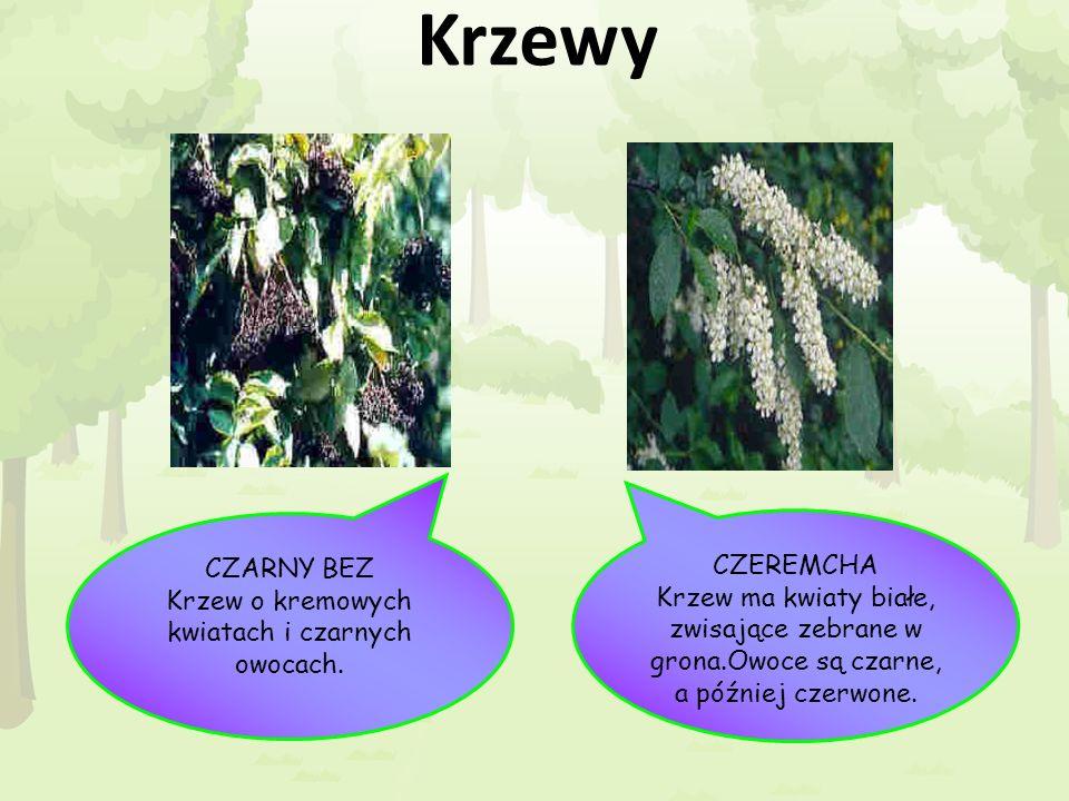 Krzewy CZEREMCHA Krzew ma kwiaty białe, zwisające zebrane w grona.Owoce są czarne, a później czerwone. CZARNY BEZ Krzew o kremowych kwiatach i czarnyc