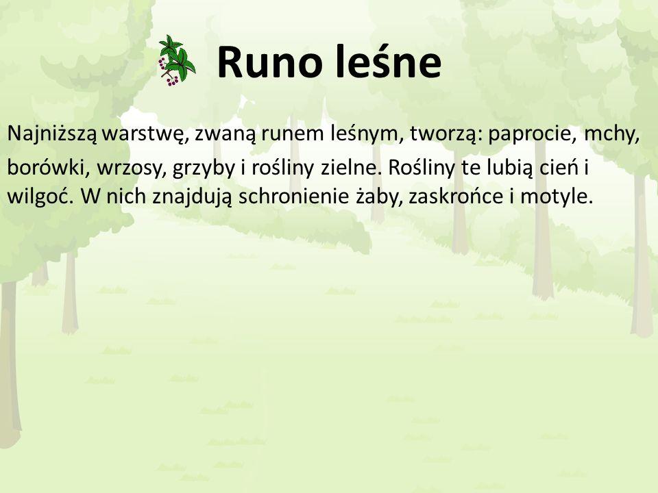 Runo leśne Najniższą warstwę, zwaną runem leśnym, tworzą: paprocie, mchy, borówki, wrzosy, grzyby i rośliny zielne. Rośliny te lubią cień i wilgoć. W