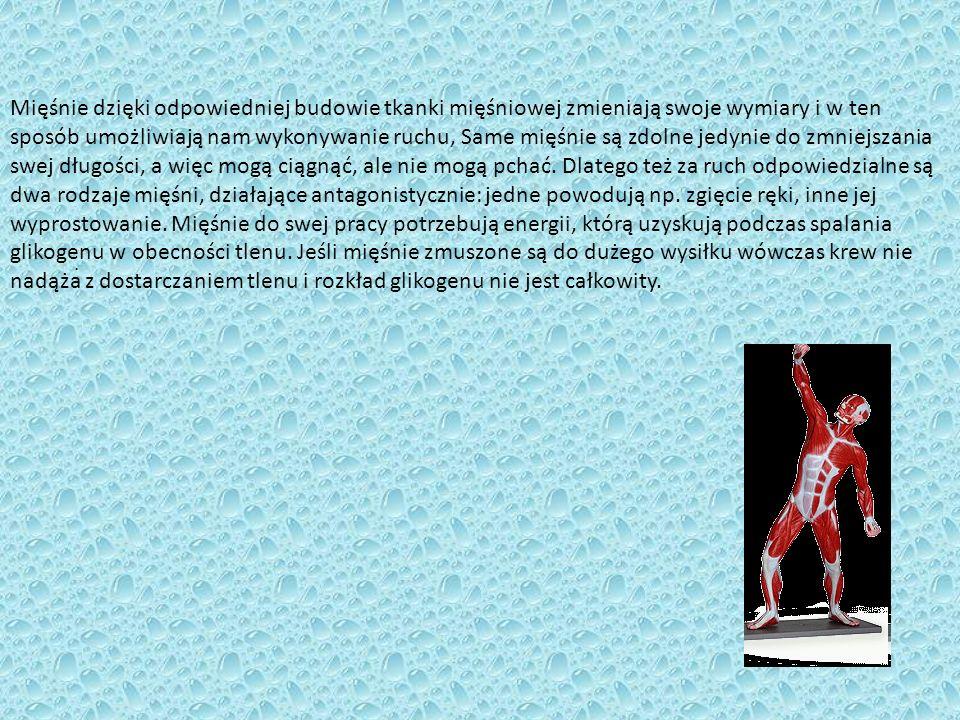 . Mięśnie dzięki odpowiedniej budowie tkanki mięśniowej zmieniają swoje wymiary i w ten sposób umożliwiają nam wykonywanie ruchu, Same mięśnie są zdol