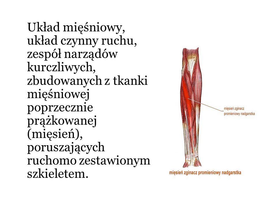 Układ mięśniowy, układ czynny ruchu, zespół narządów kurczliwych, zbudowanych z tkanki mięśniowej poprzecznie prążkowanej (mięsień), poruszających ruc