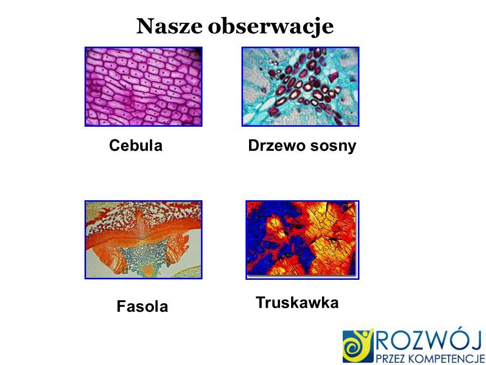 CebulaDrzewo sosny Fasola Truskawka Nasze obserwacje